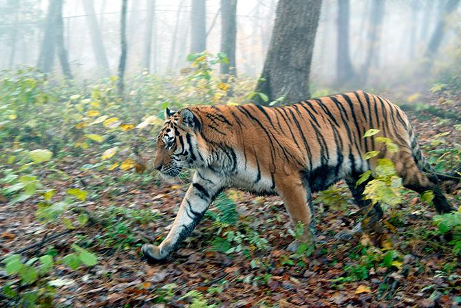 Sibirisk_tiger_inivildmarken