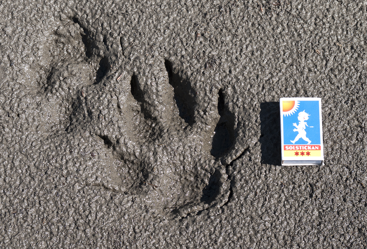 wolf_tracks_inivildmarken