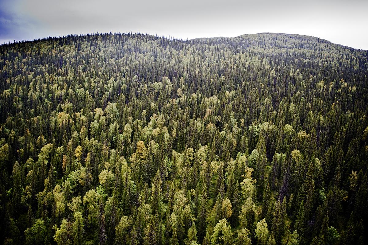 Kvikkjokk-Kabla-gammelskog