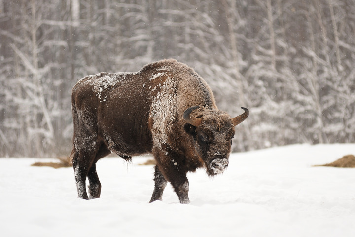 Mature male European bison in deep snow in Orlovskoye Polesie