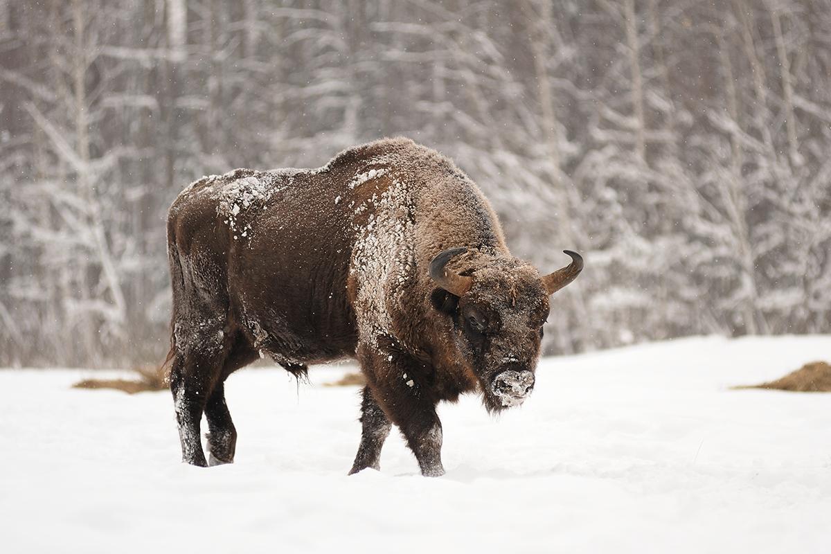 Mature male European bison in deep snow in Orlovskoye Polesie